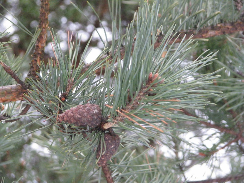 Furu brune nåler